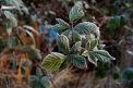 Brombeere am Wintermorgen I