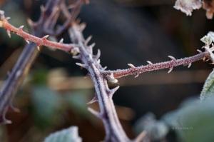 Brombeere am Wintermorgen II