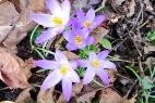 Wildkrokusblüte auf dem Schulhof